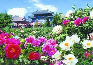 luang-peony-festival